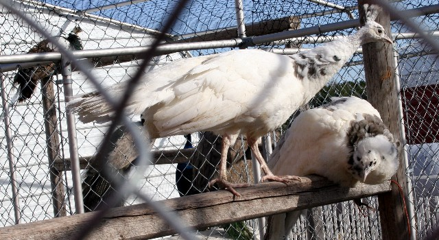 Silver-Pied Peahens